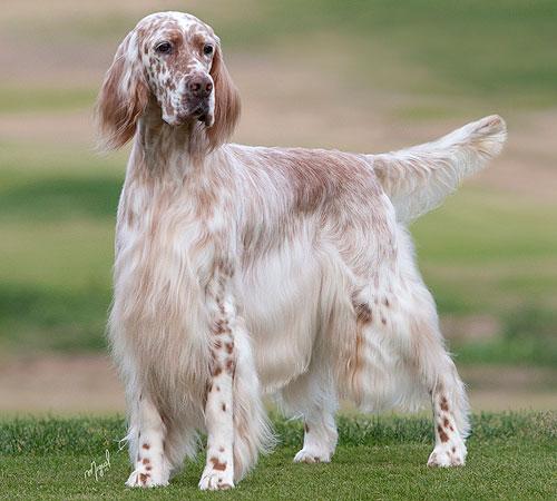 сочинение-описание внешности собаки