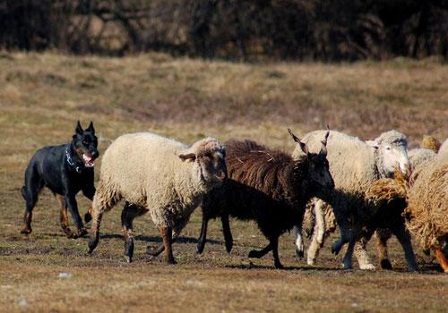 Босерон - Французская короткошерстная овчарка.