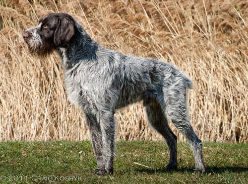 Норные охотничьи породы собак фото видео