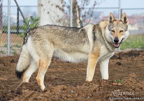 ...с волками например лайка но это чисто сабака