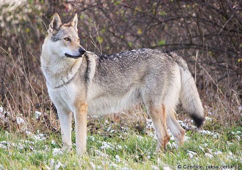 фото чешская волчья собака