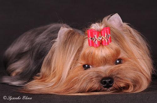 Порода собак - ирландский глен оф имаал терьер щенки.