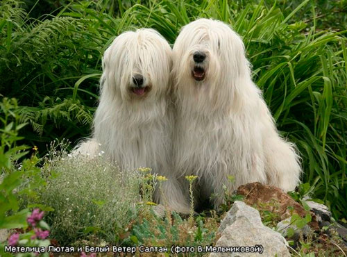 ...Овчарки Южнорусская овчарка - собака выше среднего и крупного роста...  Стандарт FCI 326.