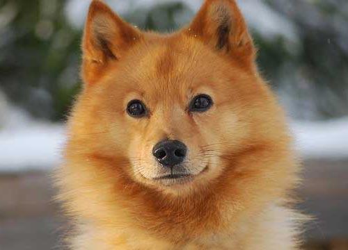 Карело-финская лайка была выведена в России посредством скрещивания