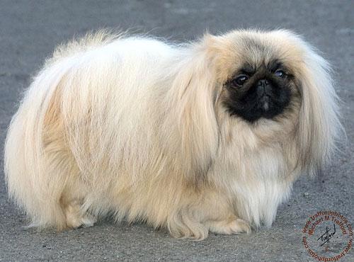 Эта порода собак китайского происхождения - одна из самых древнейших на земле.  Веками пекинесов разводили и чтили...