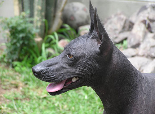 Uncommon Huge Dog Breeds