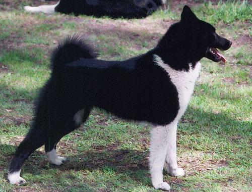 Русско-Европейская лайка - непревзойдённый охотник на медведя, но также успешно она работает по кабану, лосю и волку.