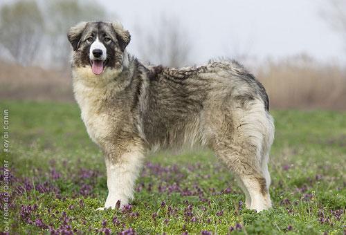 породы собак - Страница 4 Rko