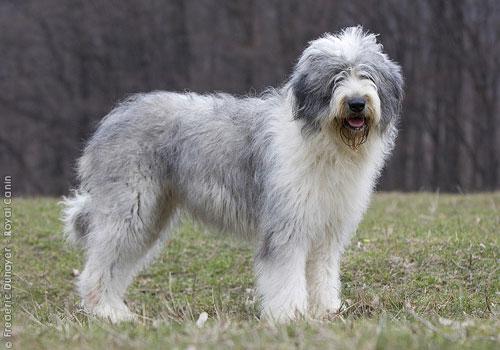 Румынская овчарка миоритик