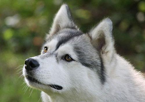 Рибирский хаски Сибирский хаски - северная ездовая собака, среднего.