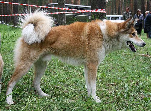 Самая крупная из российских охотничьих лаек.